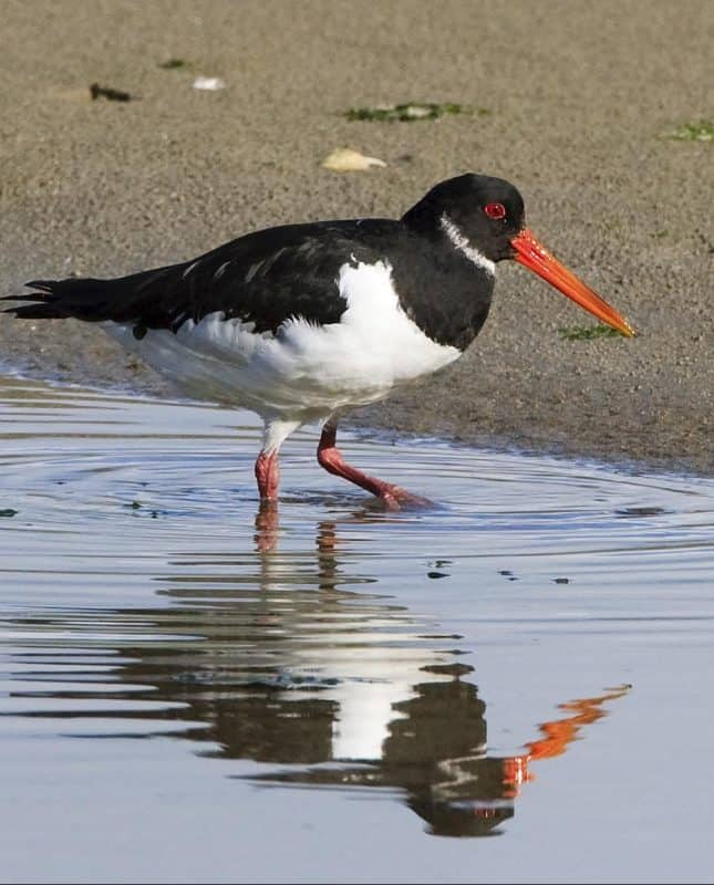 Oystercatcher in Rosscarbery